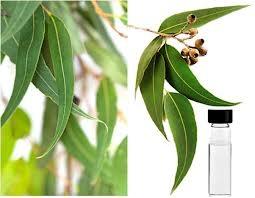 eukaliptus-ulje
